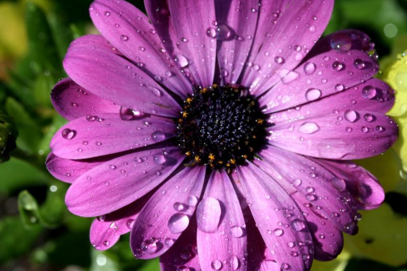 Water Drops on Purple Daisy