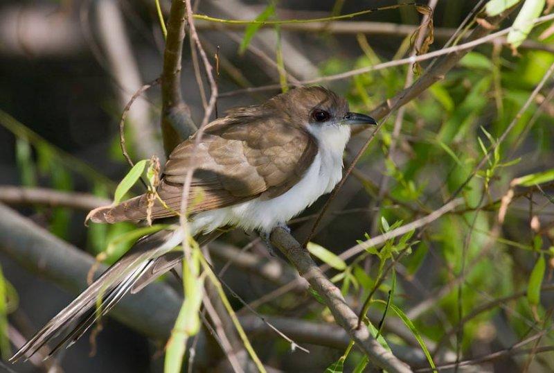 Black-billed Cuckoo (Coccyzus erythropthalmus)