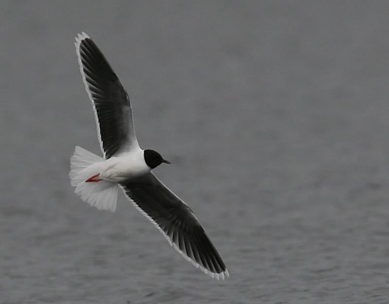 Little Gull (Larus minutus)