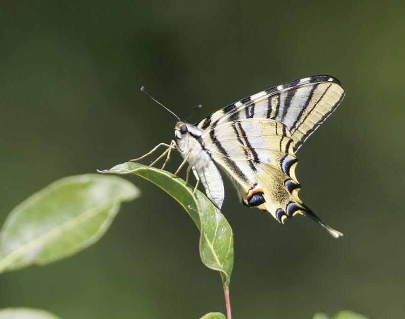 Atlassegelfjäril (Iphiclides feisthamelii)