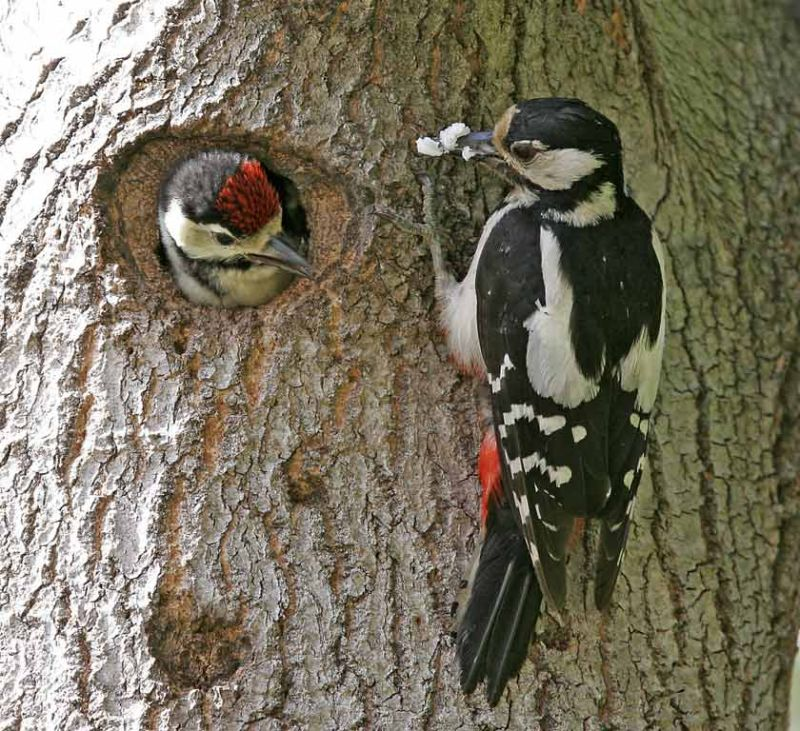 Great Spotted Woodpeckers (Dendrocopus major)