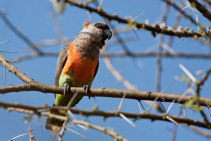 Red-bellied Parrot (Poicephalus rufiventris)