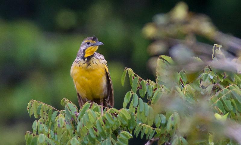 Yellow-throated Longclaw (Macronyx croceus)