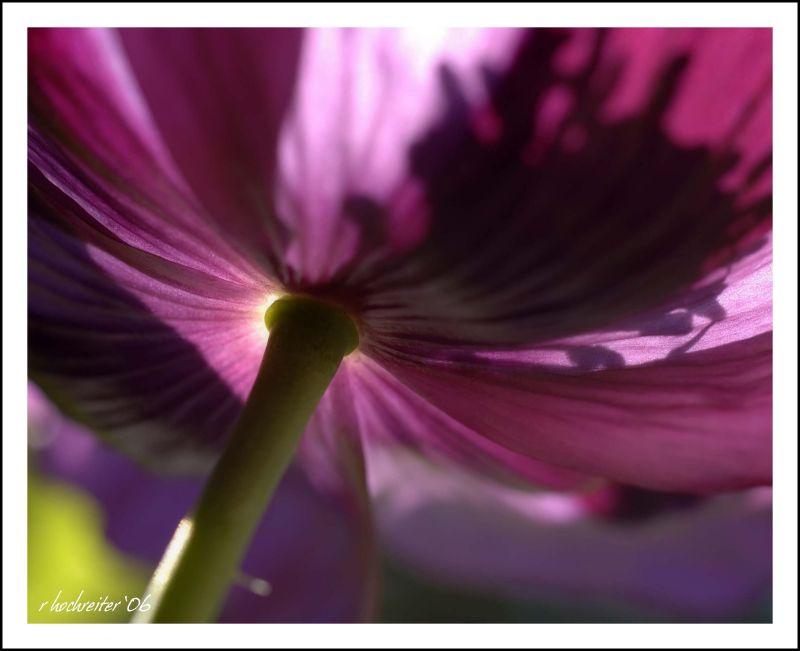 Poppy 2.jpg