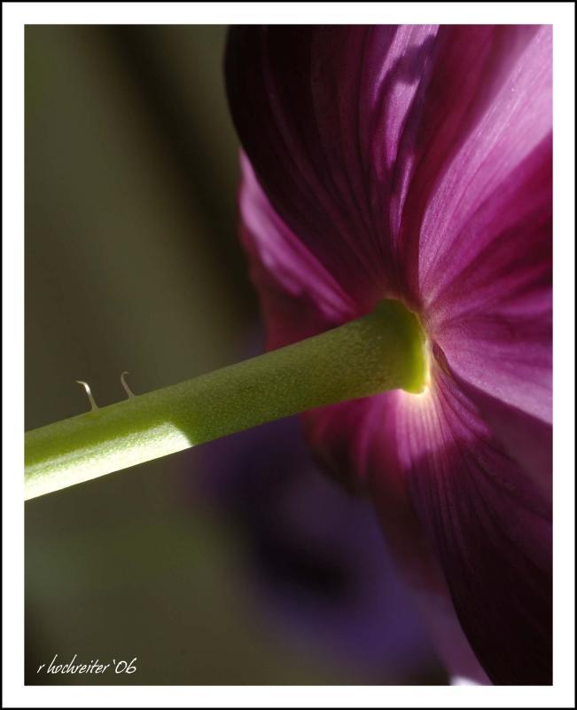 Poppy 3.jpg