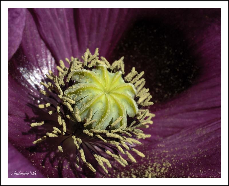 Poppy 7.jpg