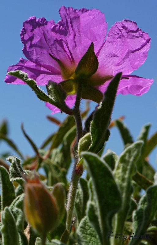 Under Lavender Purple