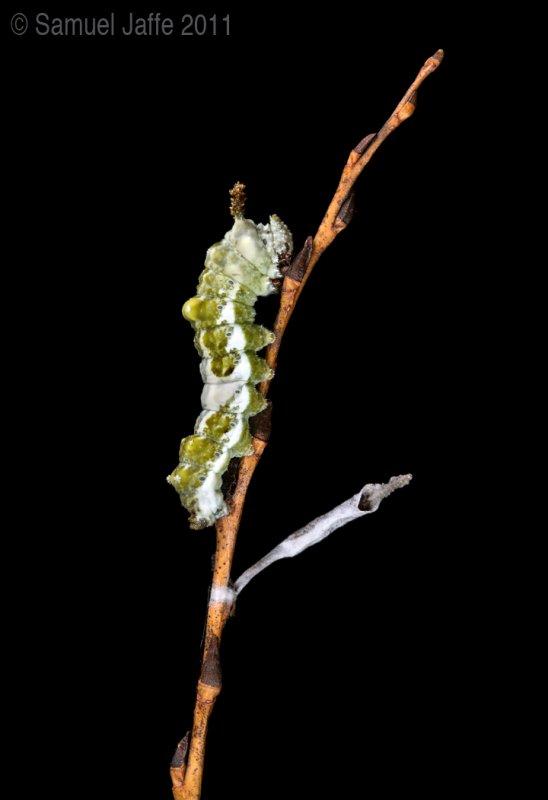 Viceroy Caterpillar and hybernaculum