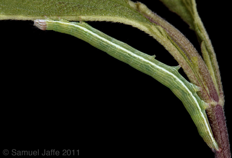 Catabena lineolata
