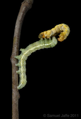 Lithophane antennata eating Phigalia strigataria