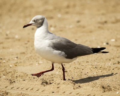Gray-hooded/headed Gull