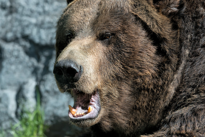 Grizzly Breath