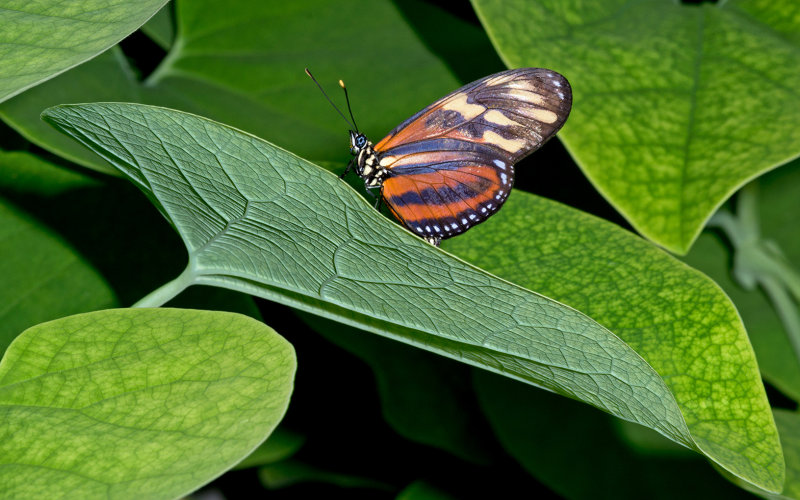 Tiger Butterfly On Leaf