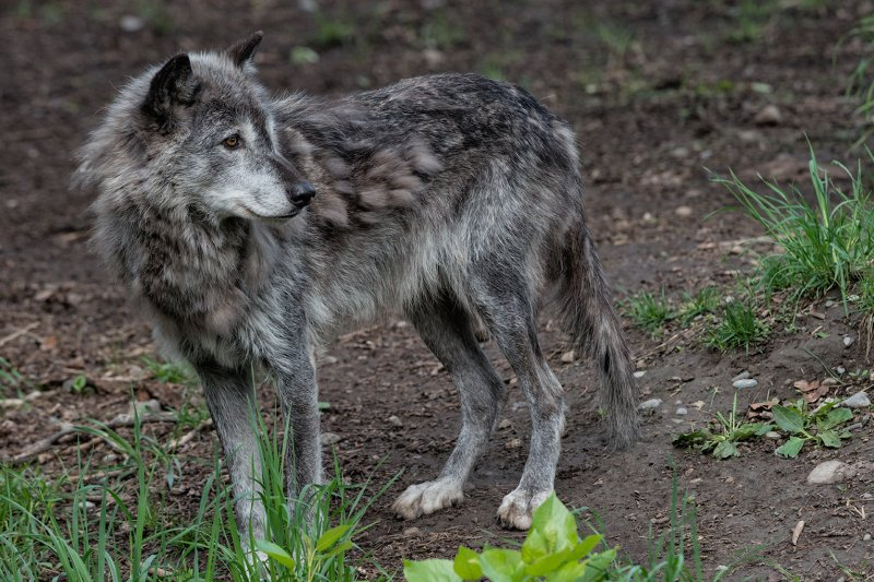 Grey Wolf - Full Body Profile