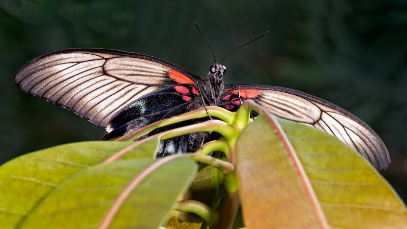 Asian Swallowtail