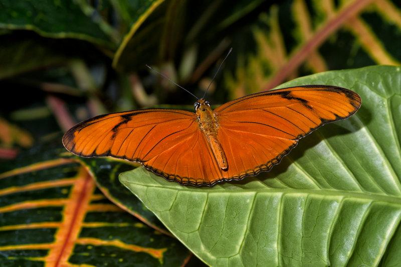 Oak Tiger Butterfly
