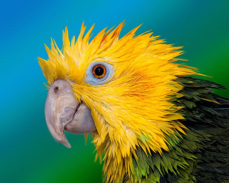Punk Parrot