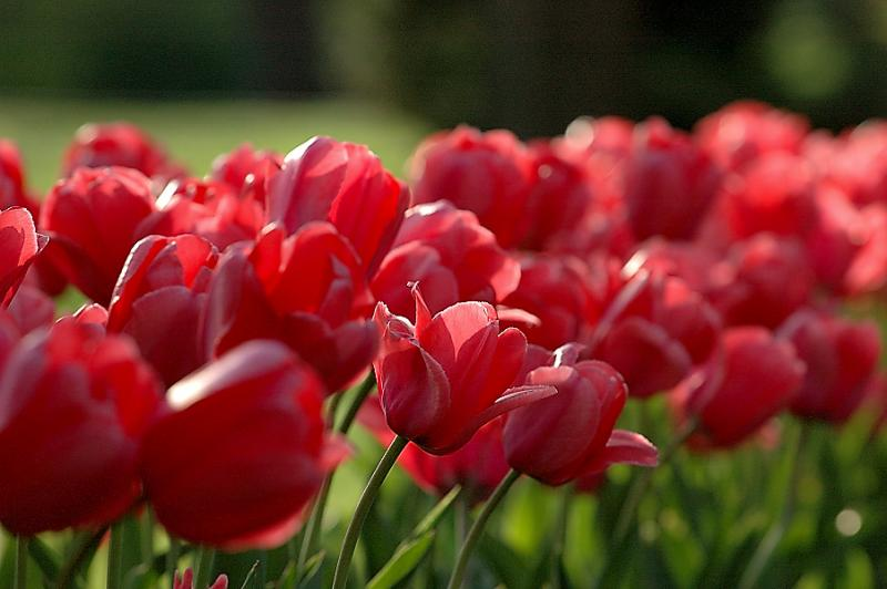 tulips_closeup.jpg