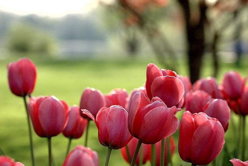 tulips_closeup2.jpg