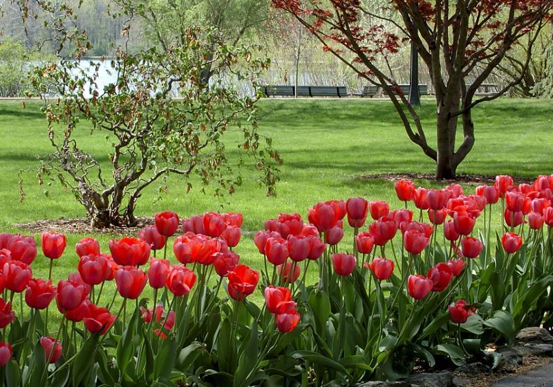 tulips_pathway2.jpg