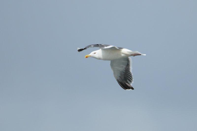 Goéland argenté - European Herring Gull - Larus argentatus