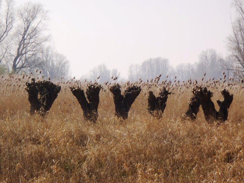 Four pollard willows