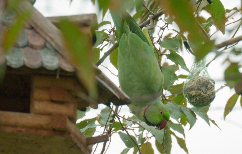 Halsbandsittich in Nachbars Garten (Psittacula krameri)