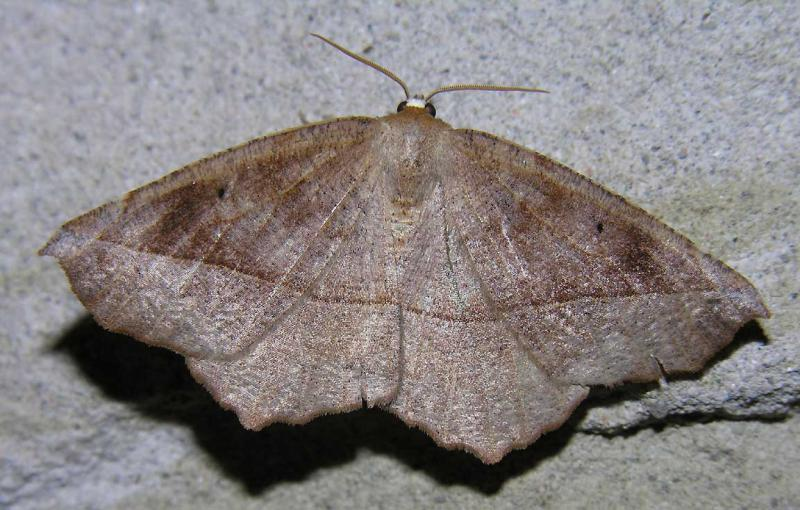 Eutrapela clemataria - 6966