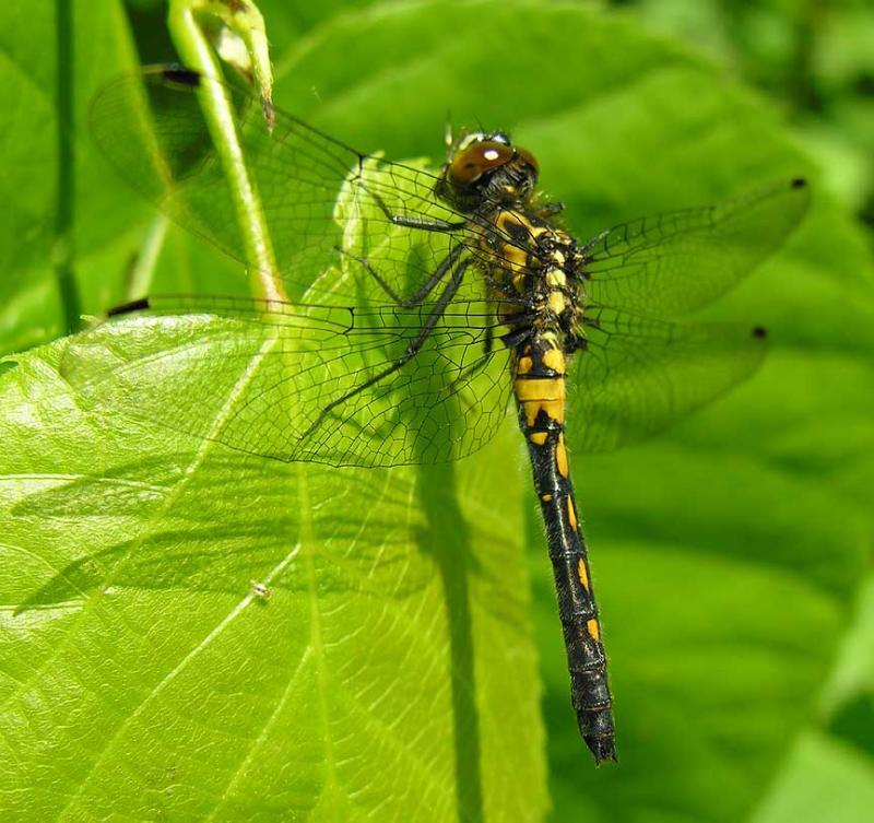 Leucorrhinia intacta(?) -female - side