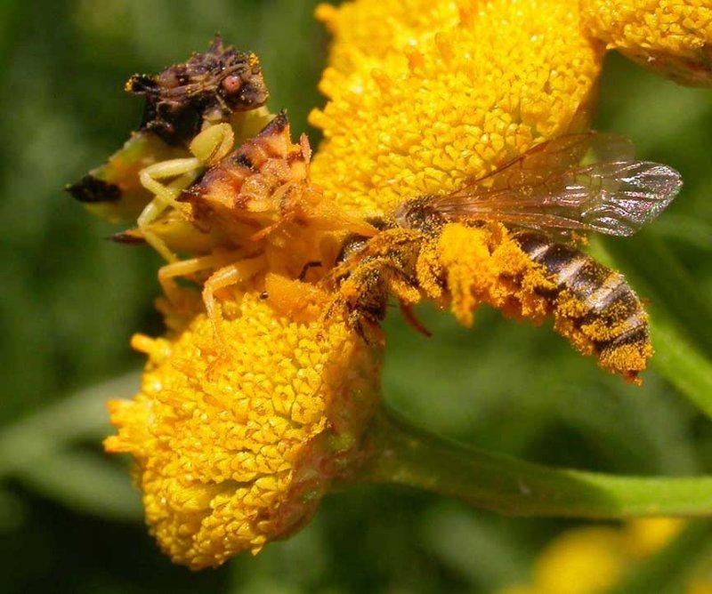 Phymata Pair with prey