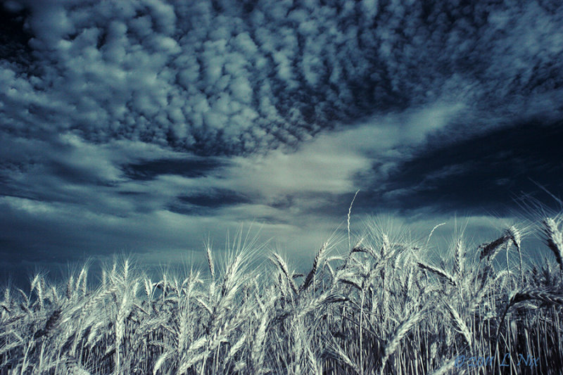 Wheat Field in IR