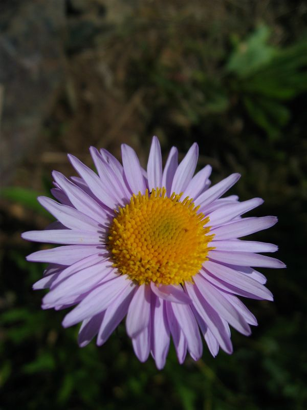 Oregon Daisy