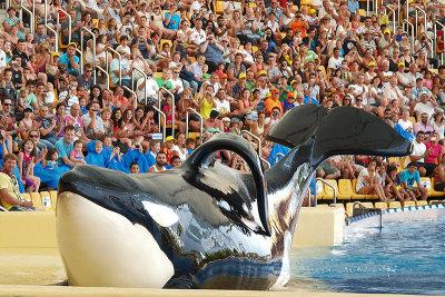 Espectáculo de las orcas en el Loro Parque / Orcas show at Loro Parque