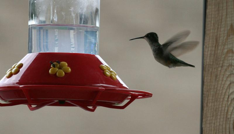 Hummingbird & Ants at Feeder