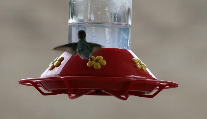 Hummingbird & Ants at Feeder