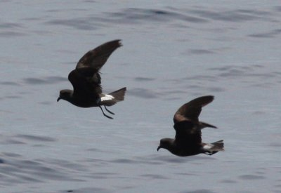 Band-rumped Storm Petrels