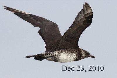 Pomarine Jaeger, December 23, 2010