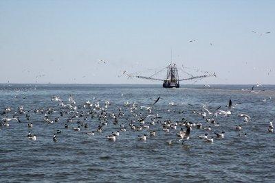 Raft of mixed gulls behing boat