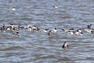 Pomarine Jaeger among the gulls
