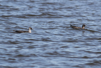 Two Pomarine Jaegers on the water