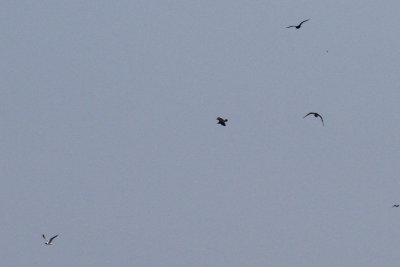 Three Pomarine Jaegers after a Laughing Gull