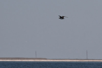 First Pomarine Jaeger of the day