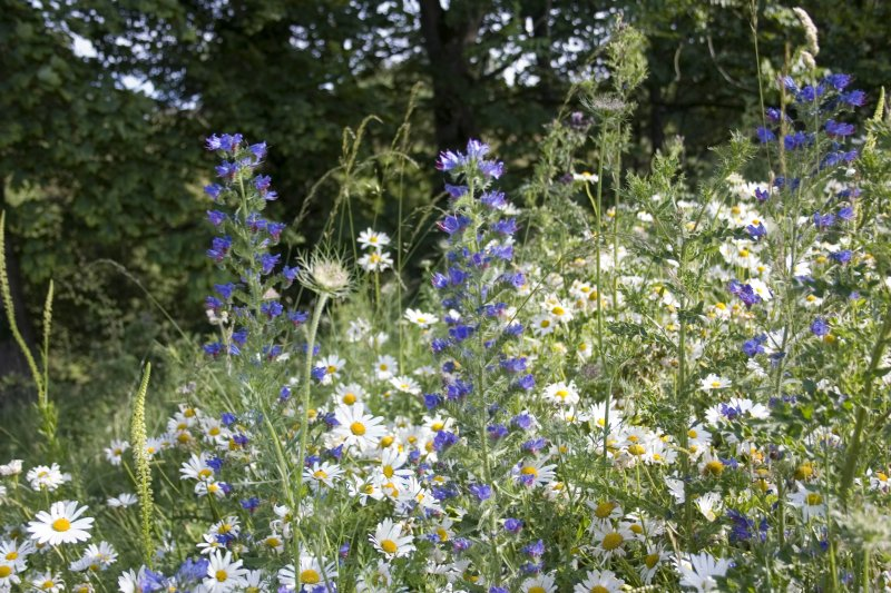 Vipers Bugloss and Daisies