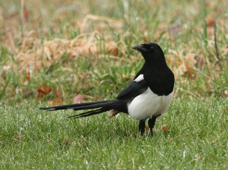 Black-billed Magpie 7730