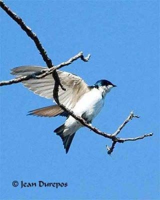 Tree Swallow Mating (Image 8)