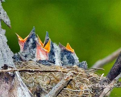 Eastern Kingbird chicks