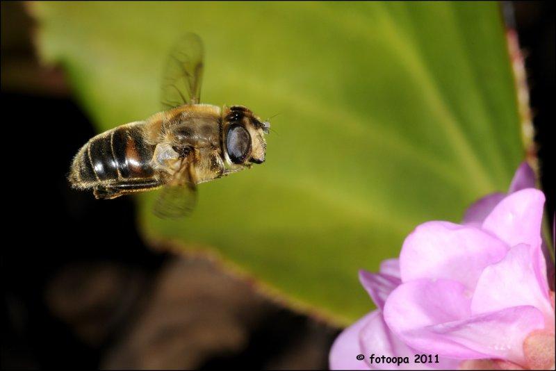 Blinde Bij - Eristalis tenax fotoopa_20110217_41094
