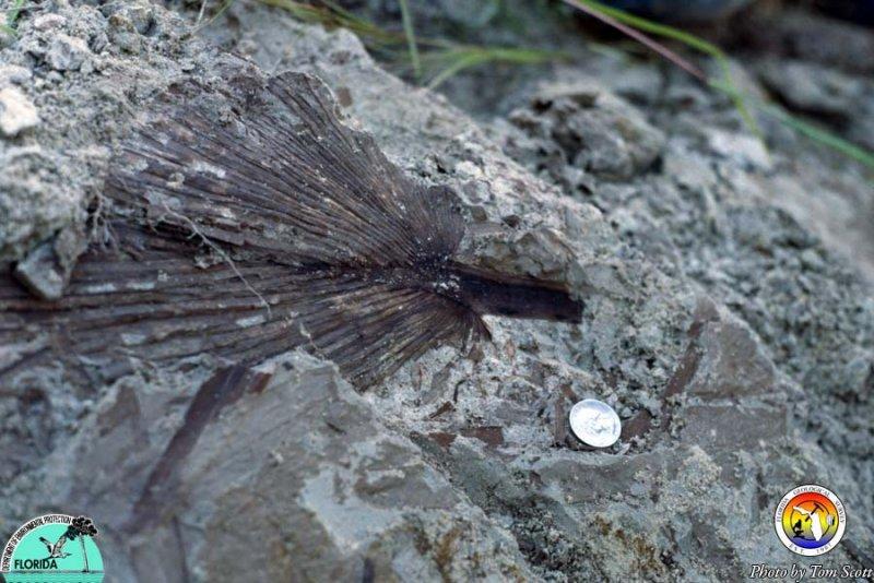 Alum Bluff Group at ALum Bluff plant fossil.jpg