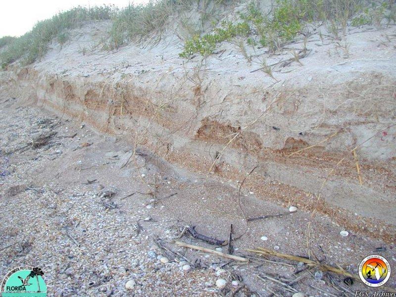 MMSNEFlStudy-Coastal Erosion-ShellHashBeds1.JPG