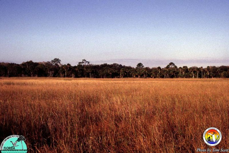 Big Cypress saw grass.jpg